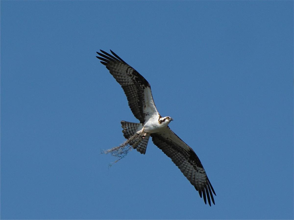 birds-of-prey-the-osprey