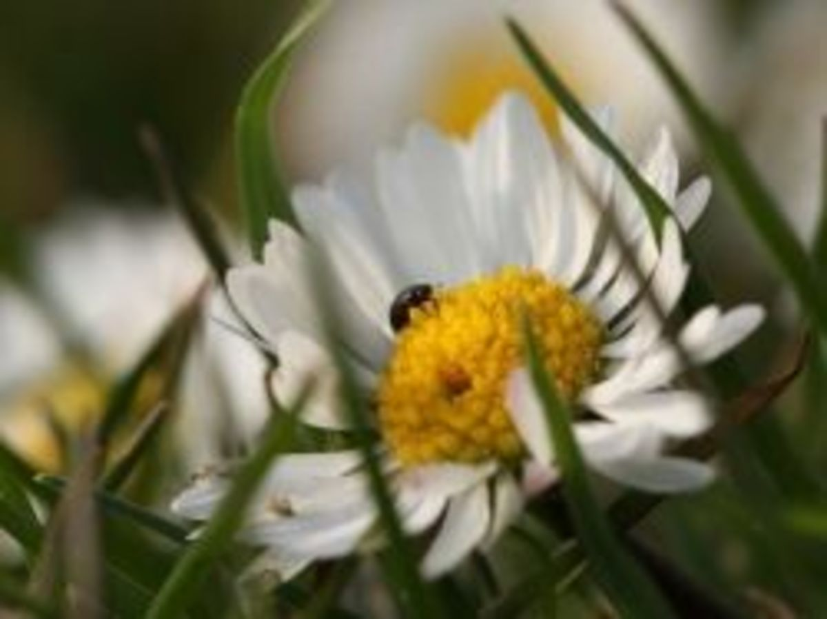A pollen beetle on a flower
