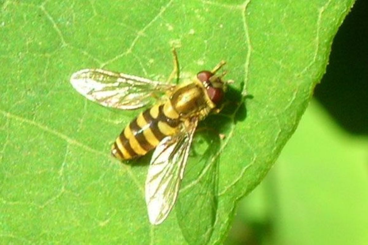 A syrphid fly.