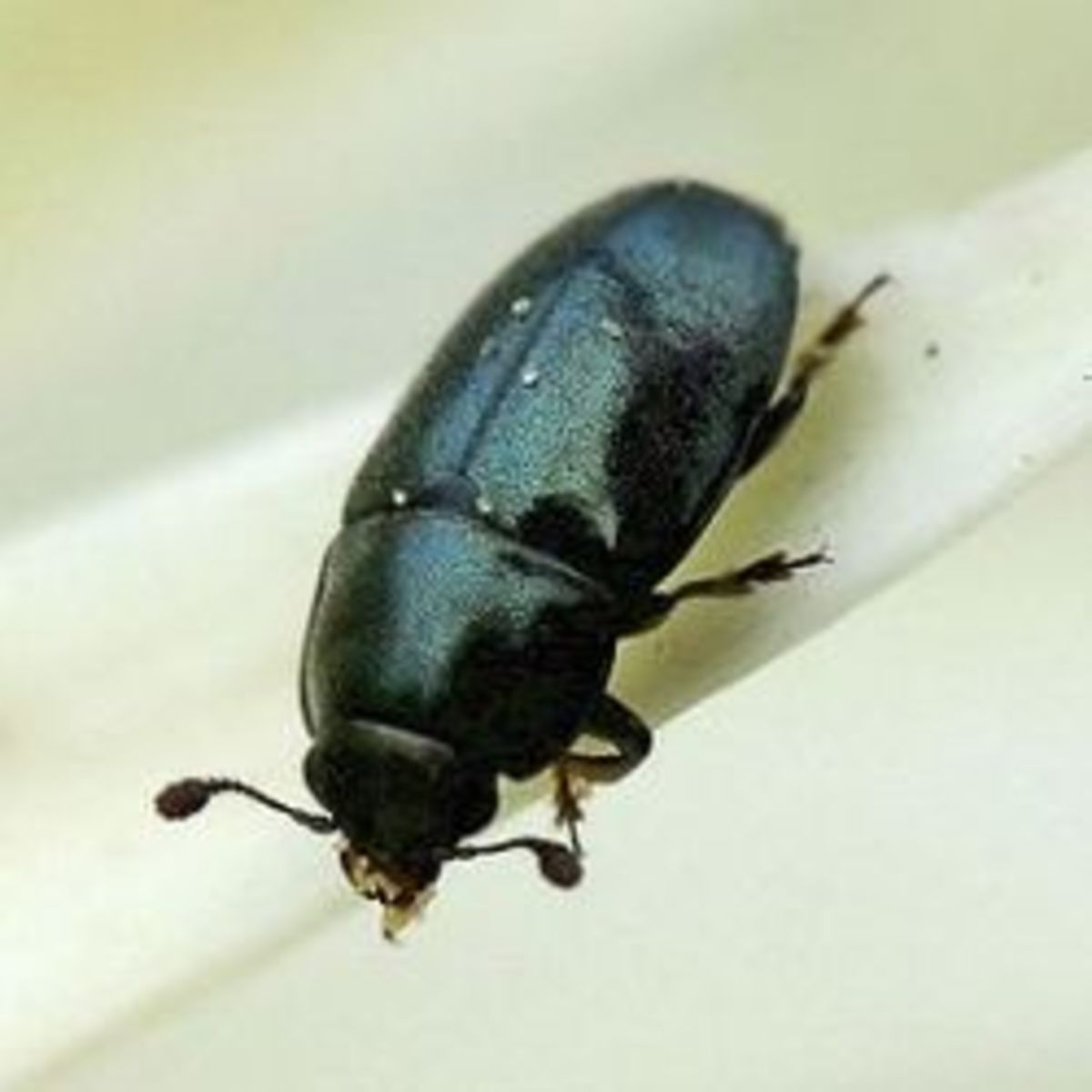 Biological Control of the Pollen Beetle, Meligethes aeneus