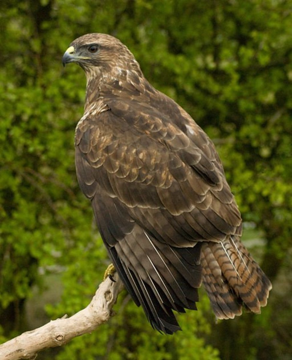 Buzzard vulture difference - photo#3