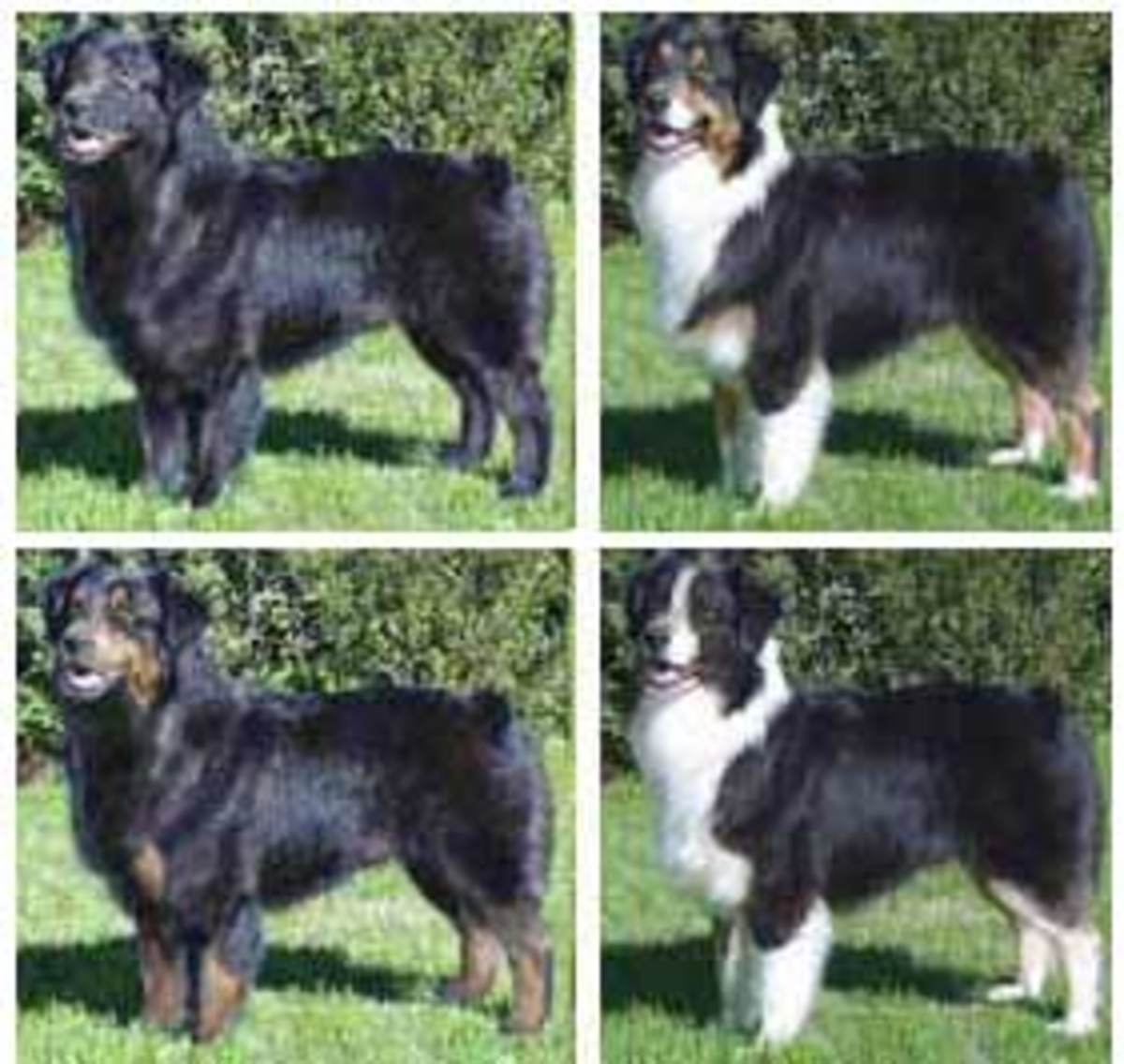 Common Black Australian Shepherd Color Patterns