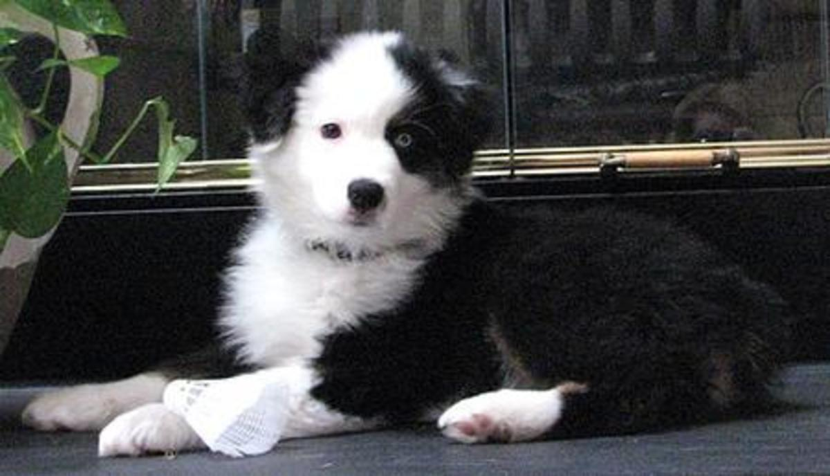 A black bi-color Australian Shepherd puppy with two different colored eyes.