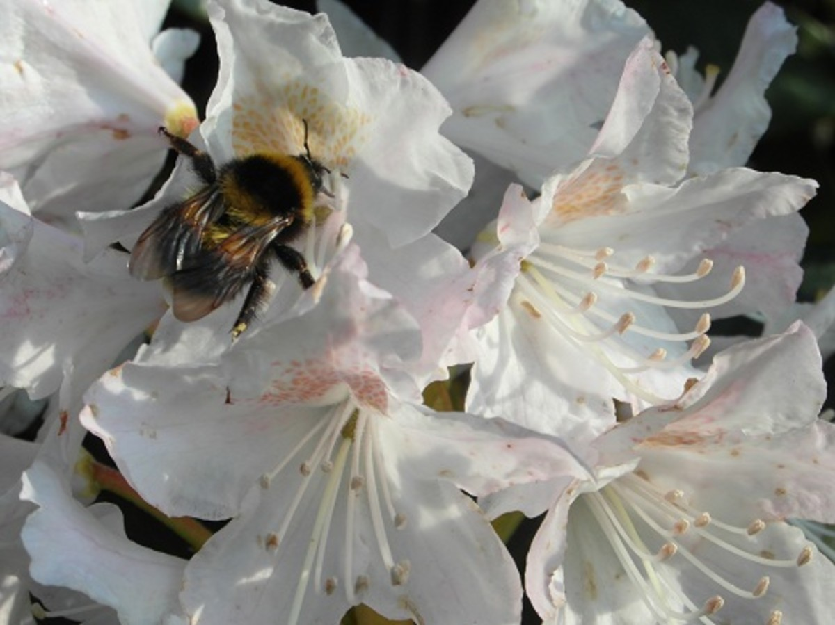 Bumble bee on a rhododendron flower