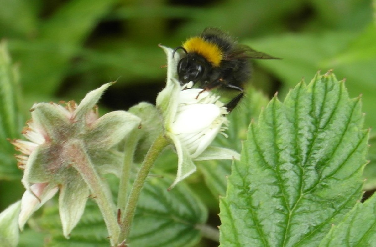 Bumble bee on a raspberry flower
