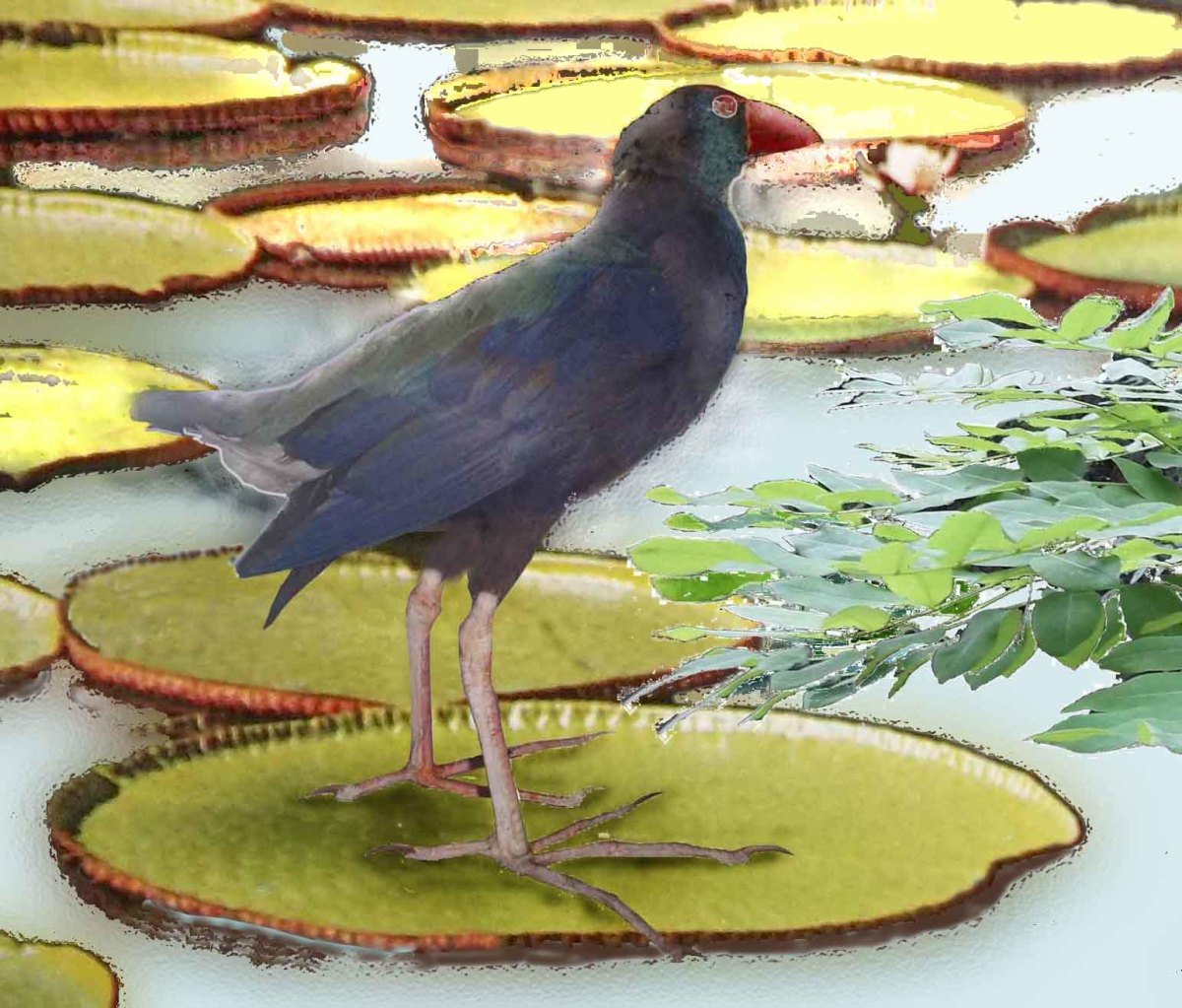 Kenya - birdwatcher's paradise: The African Purple Gallinule and Saddle billed Stork