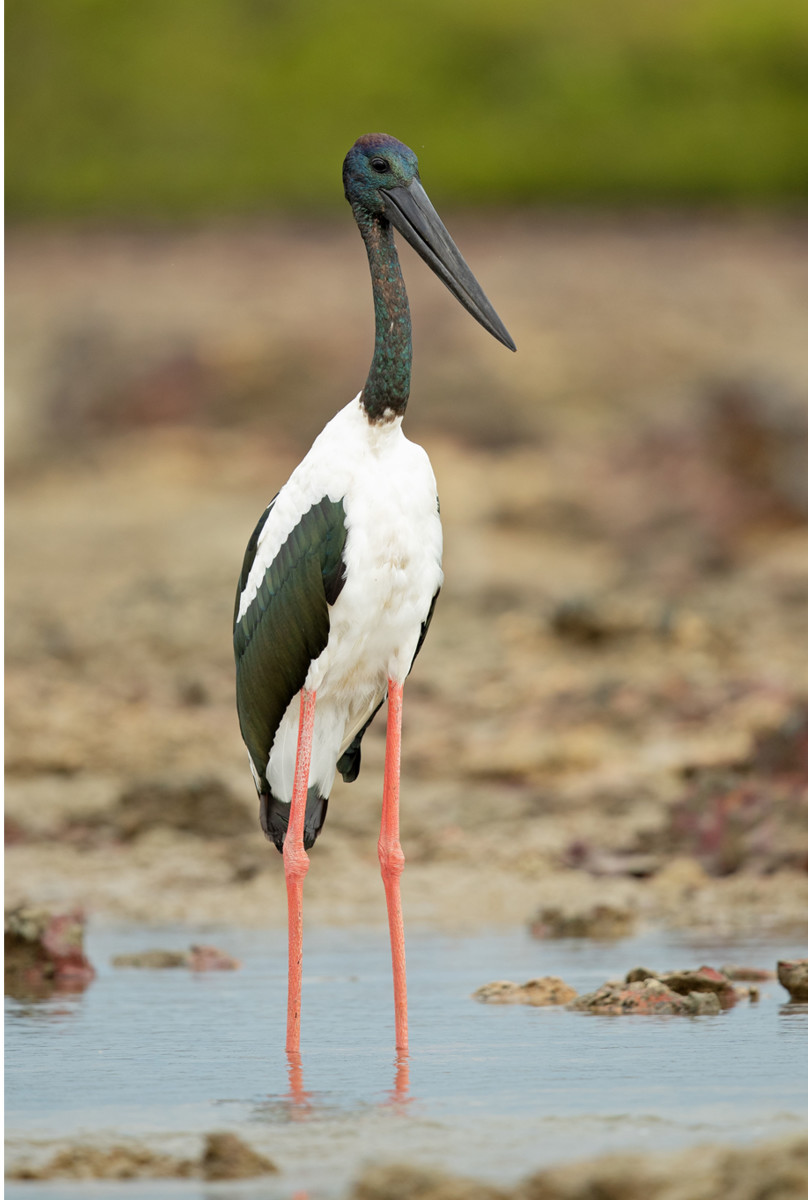 JJ Harrison (https://www.jjharrison.com.au/), Black-necked Stork -112 Nightcliff, CC BY-SA 4.0