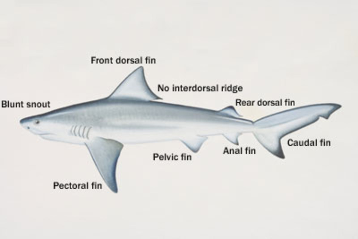 bull shark anatomy