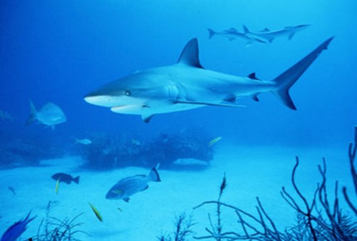 Bull Sharks Facts