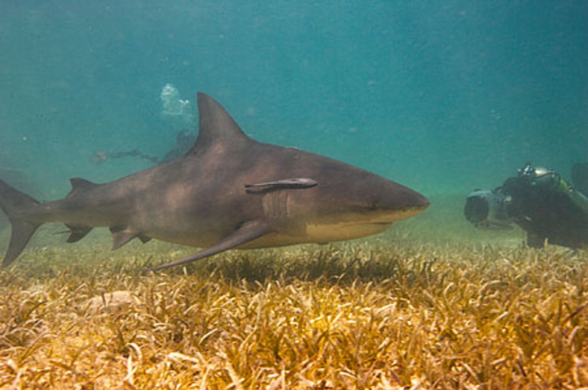 diver filming bull shark