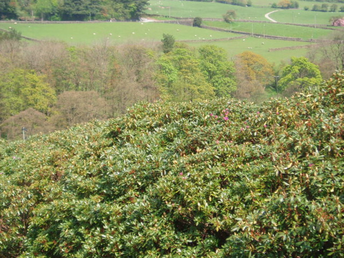 Rododendrons on the moors