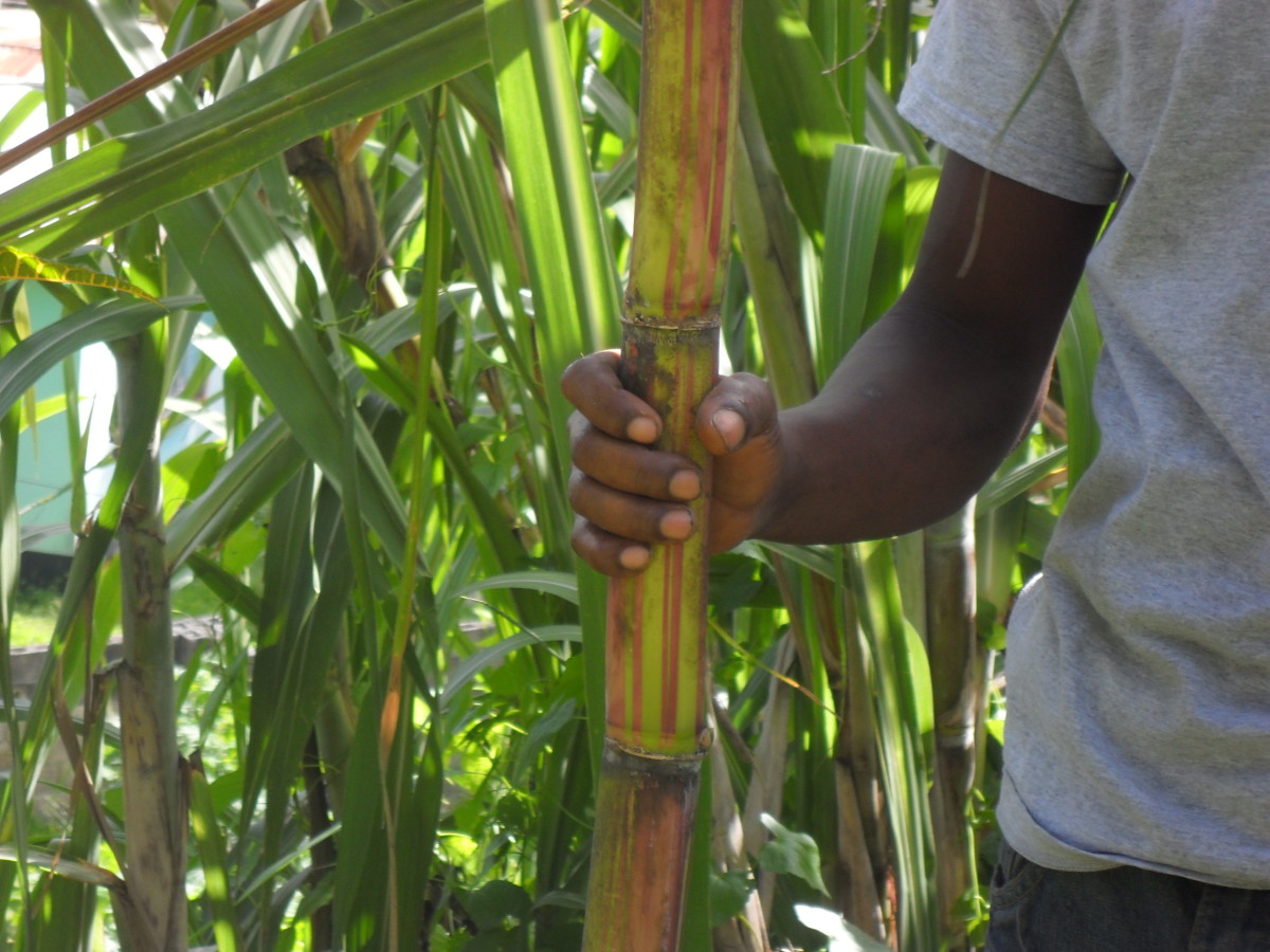 A version of the sugarcane known as ribbon cane. Not as sweet as the traditional sugar cane.
