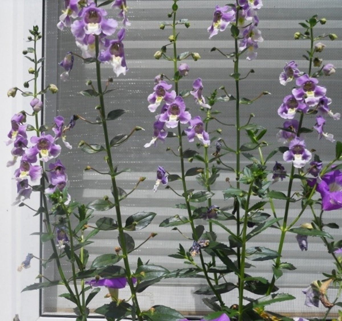 Angelface - Wedgwood Blue (Angelonia agustifolia hybrid)