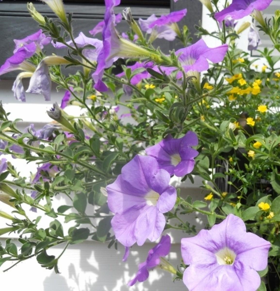Lavender Petunias