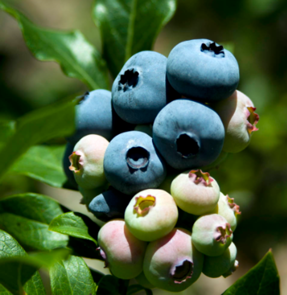 The Beautiful Blueberry ripening on the bush.