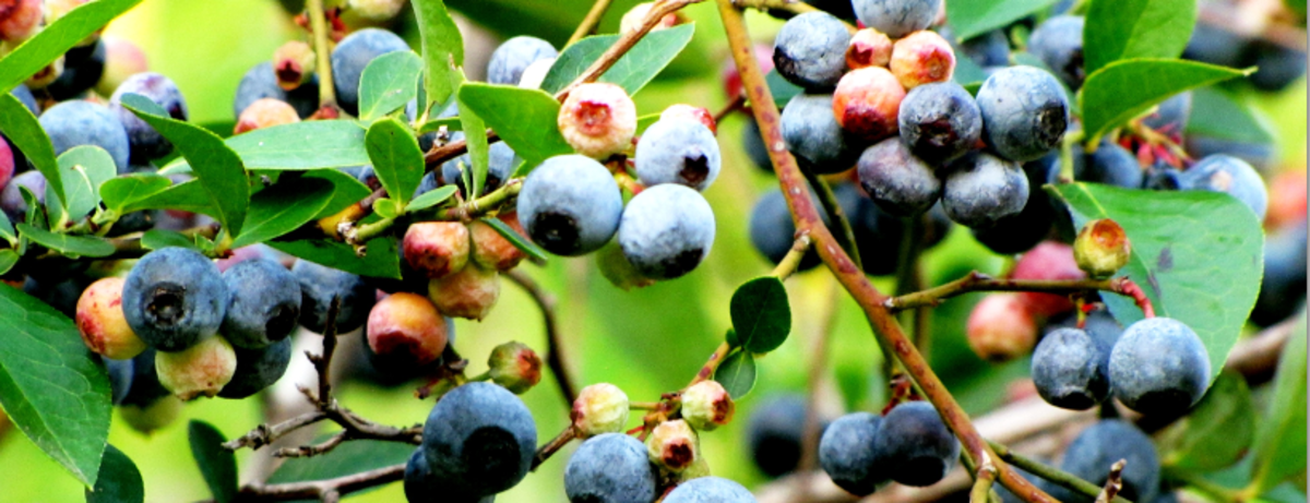 Blueberries grown on a a bush for picking