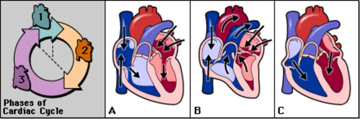 How the heart works  AKA Cardiac Cycle