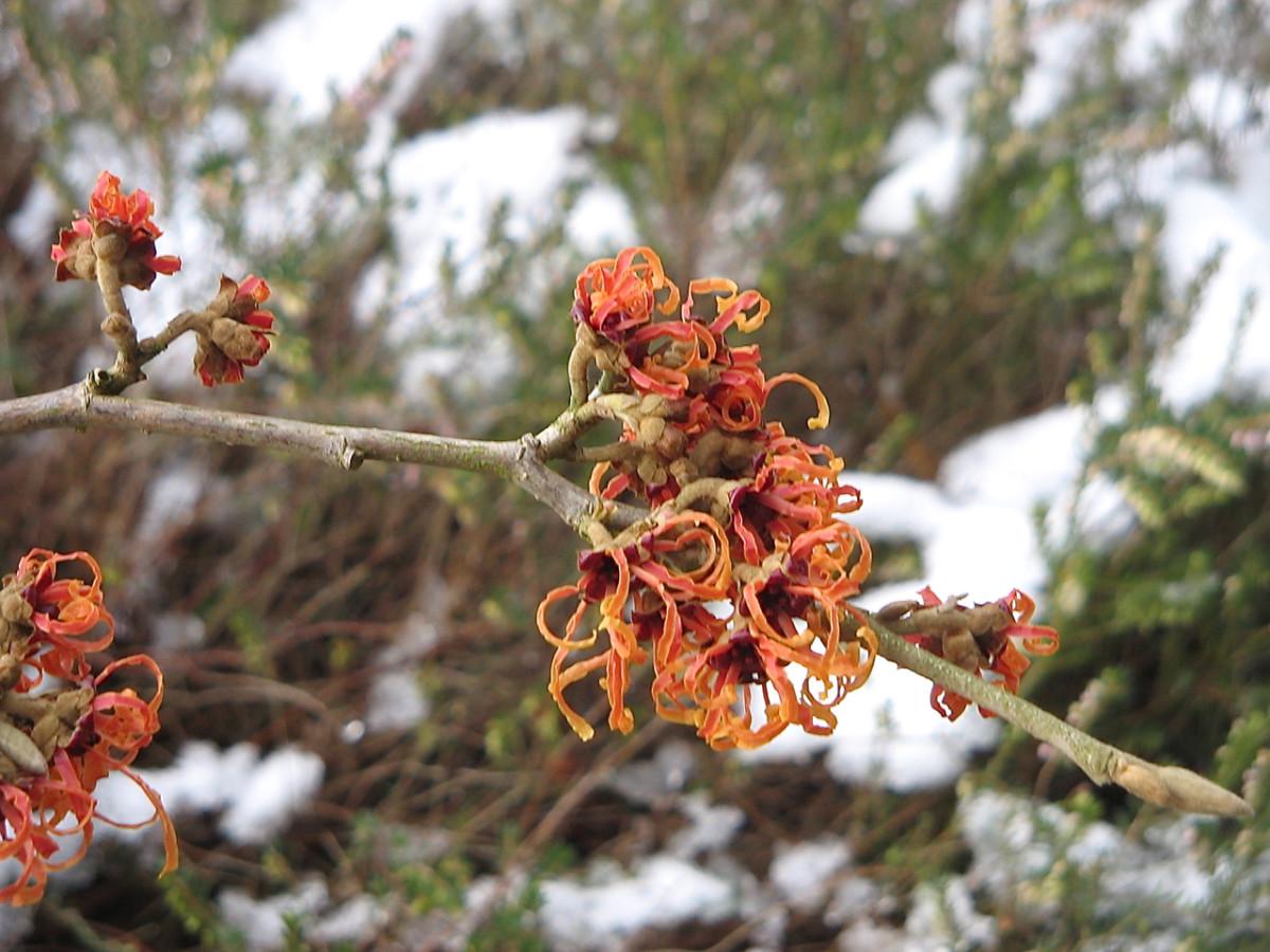 A cultivar of witch hazel that has orange flowers
