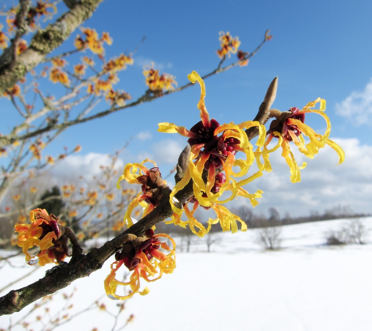 Witch hazel flowers in the winter