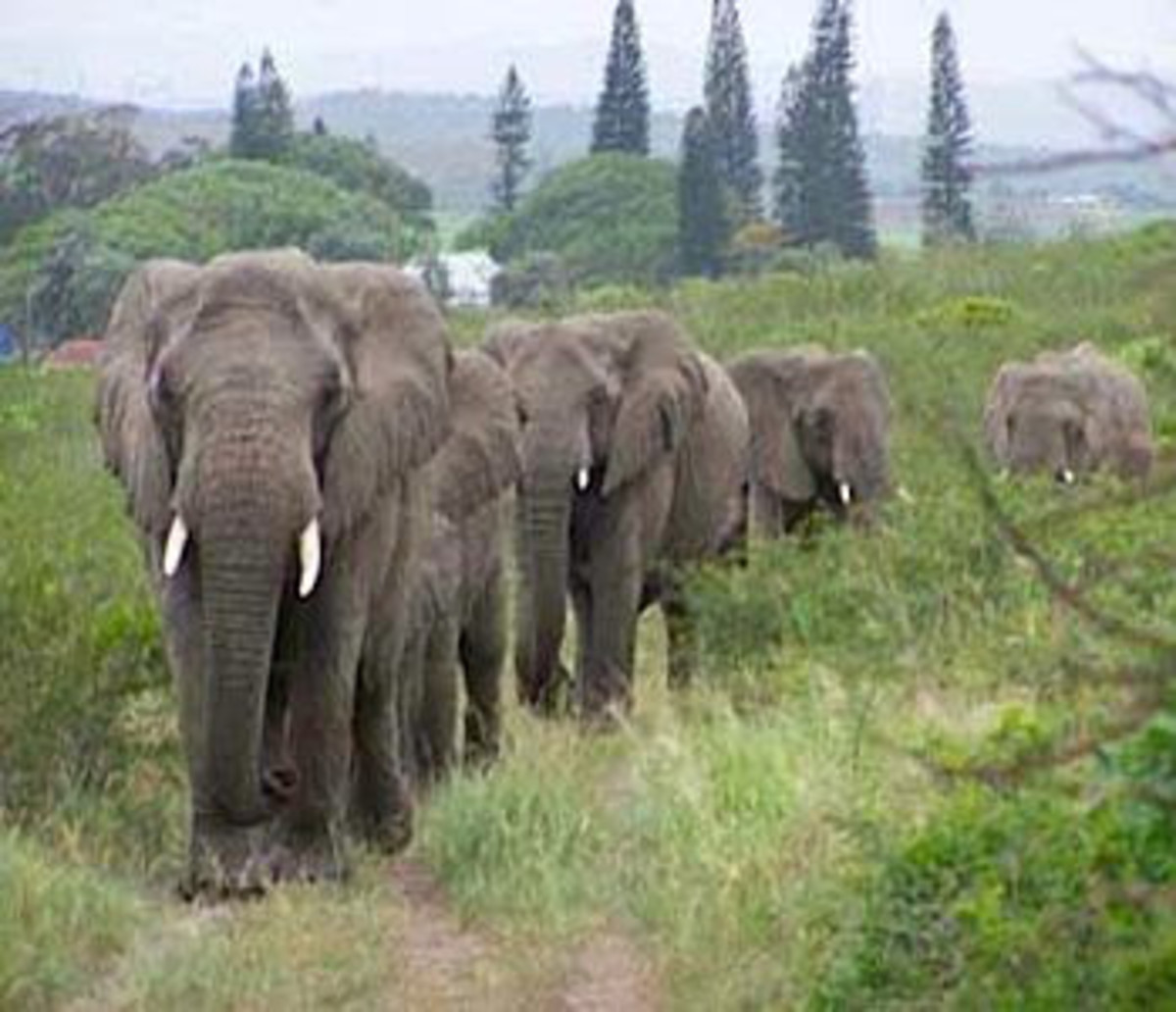 The Elephants returning to the Anthony home to pay homage to the human they loved.