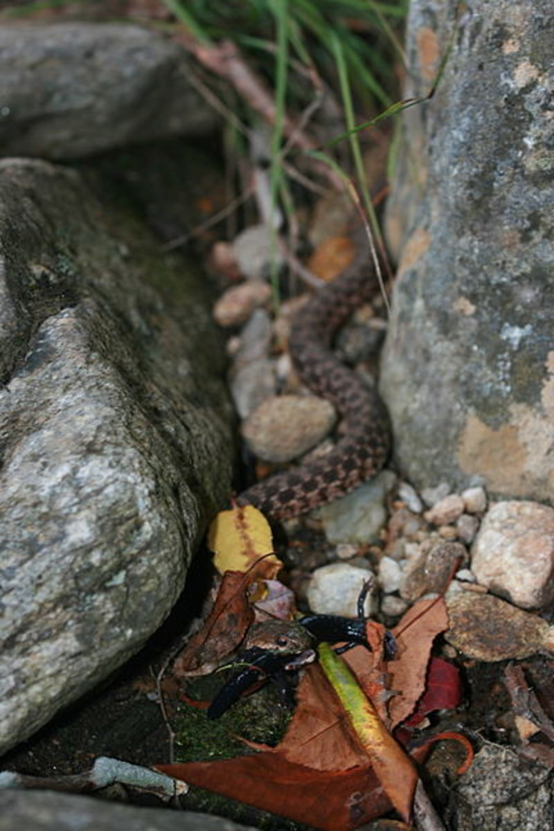 North American Brown Snake eating, Photo by Brandon Dempster, This work is licensed under the Creative Commons Attribution-ShareAlike 3.0 License.