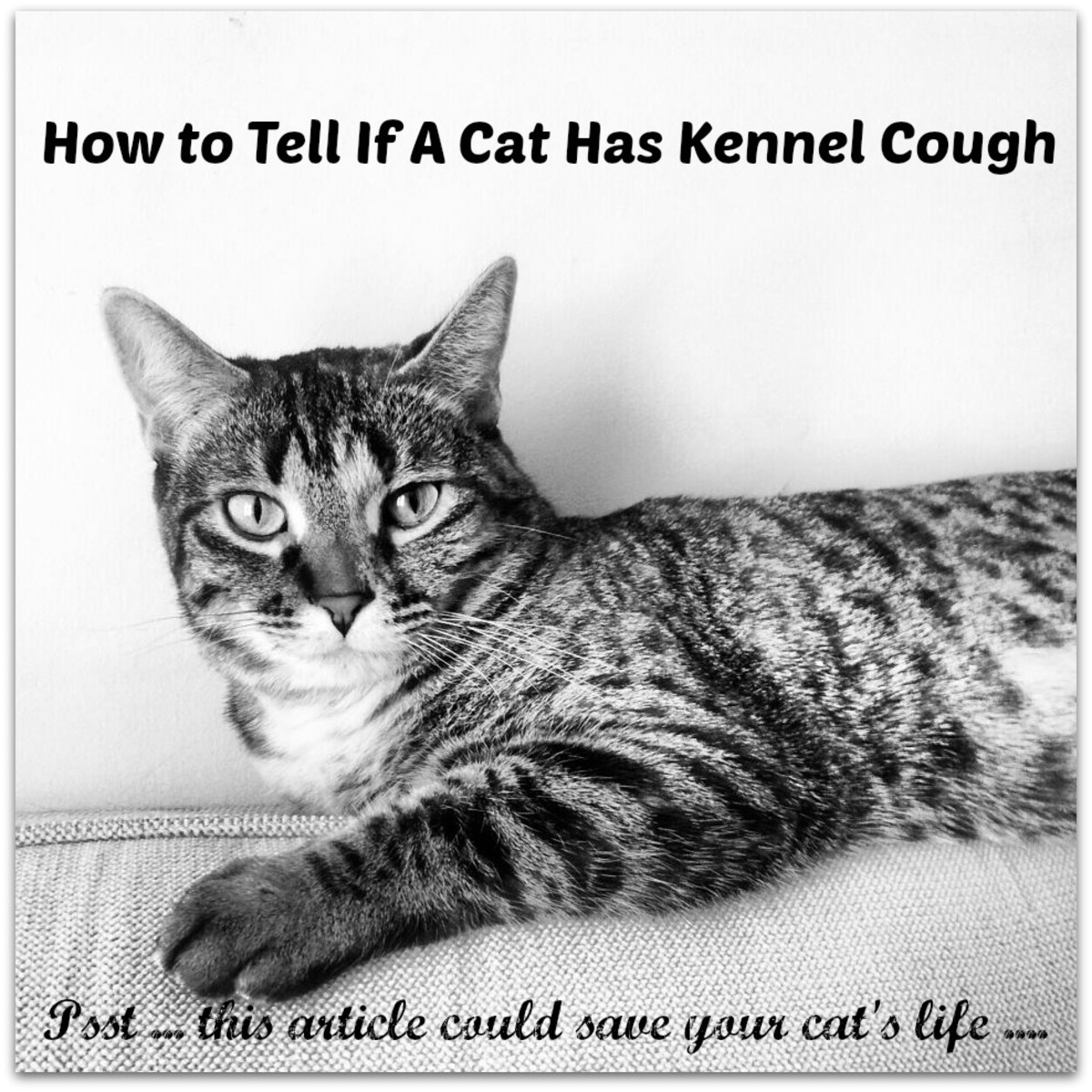 It is very important to catch the signs of kennel cough in kitties.