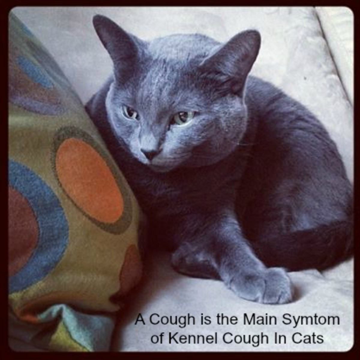 A soft cough is the main symptom of kennel cough in cats.