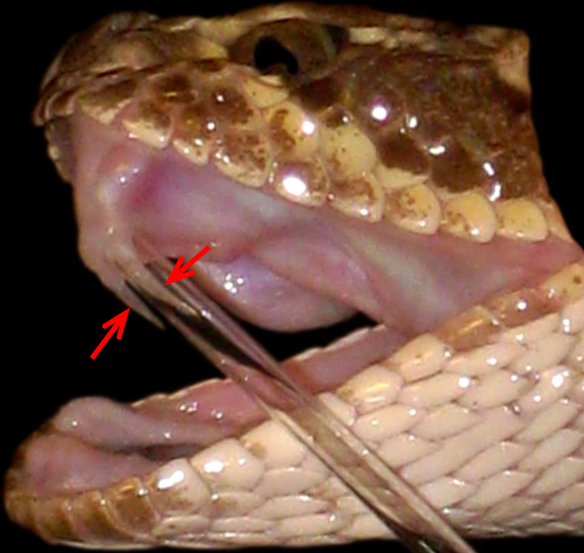A Prairie Rattlesnake (Crotalus viridis viridis) that possesses two front-fangs on its left side, with the fang on your right being the functional one (the one on the left was just shed, but is still trapped in the fang sheath).