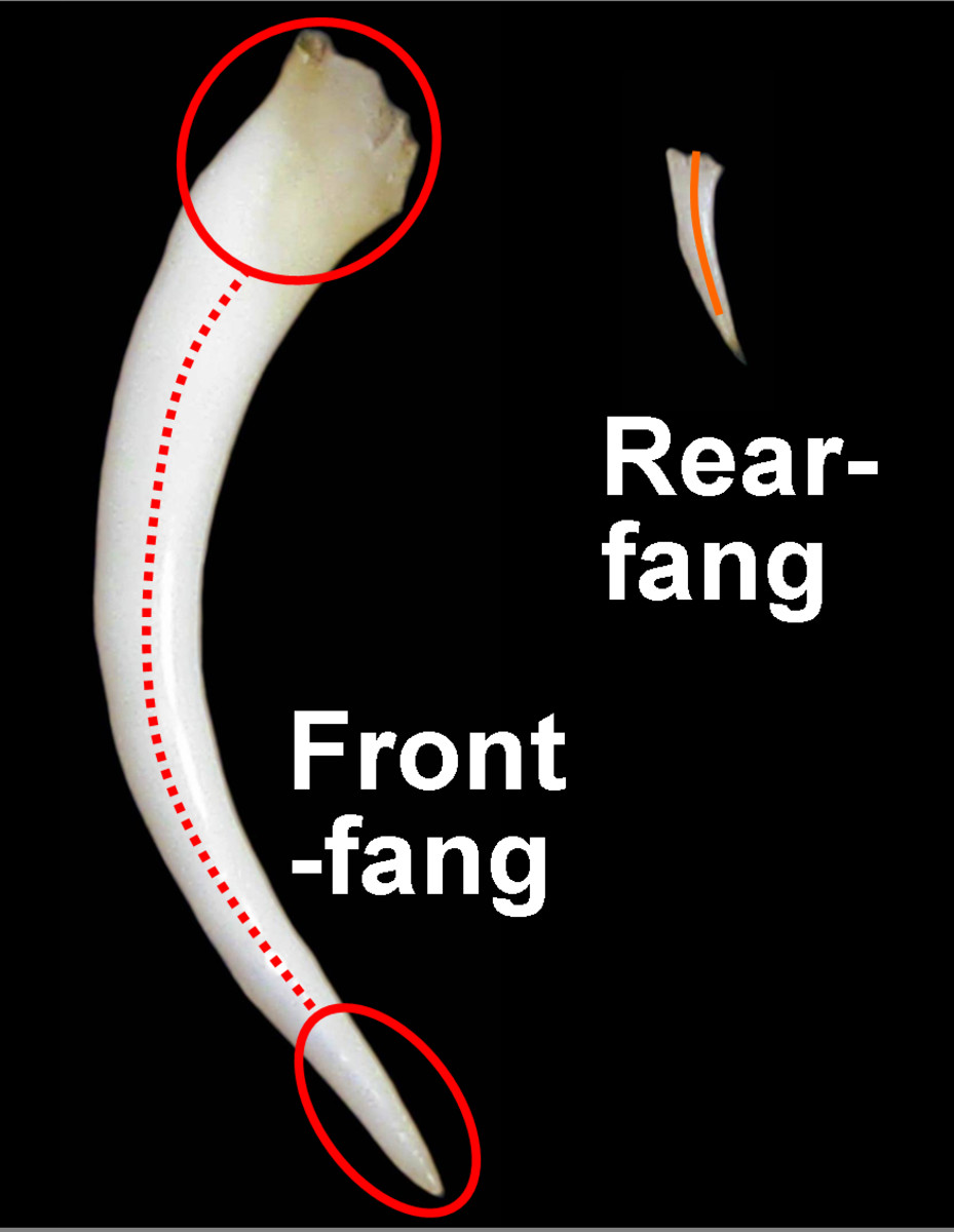 Accurate side-by-side comparison of a Gaboon Viper front-fang and a Mangrove Snake rear-fang. The circles represent entry/exit points for the venom, with the lines being the venom's path inside (front-fang) or alongside (rear-fang) the fangs.