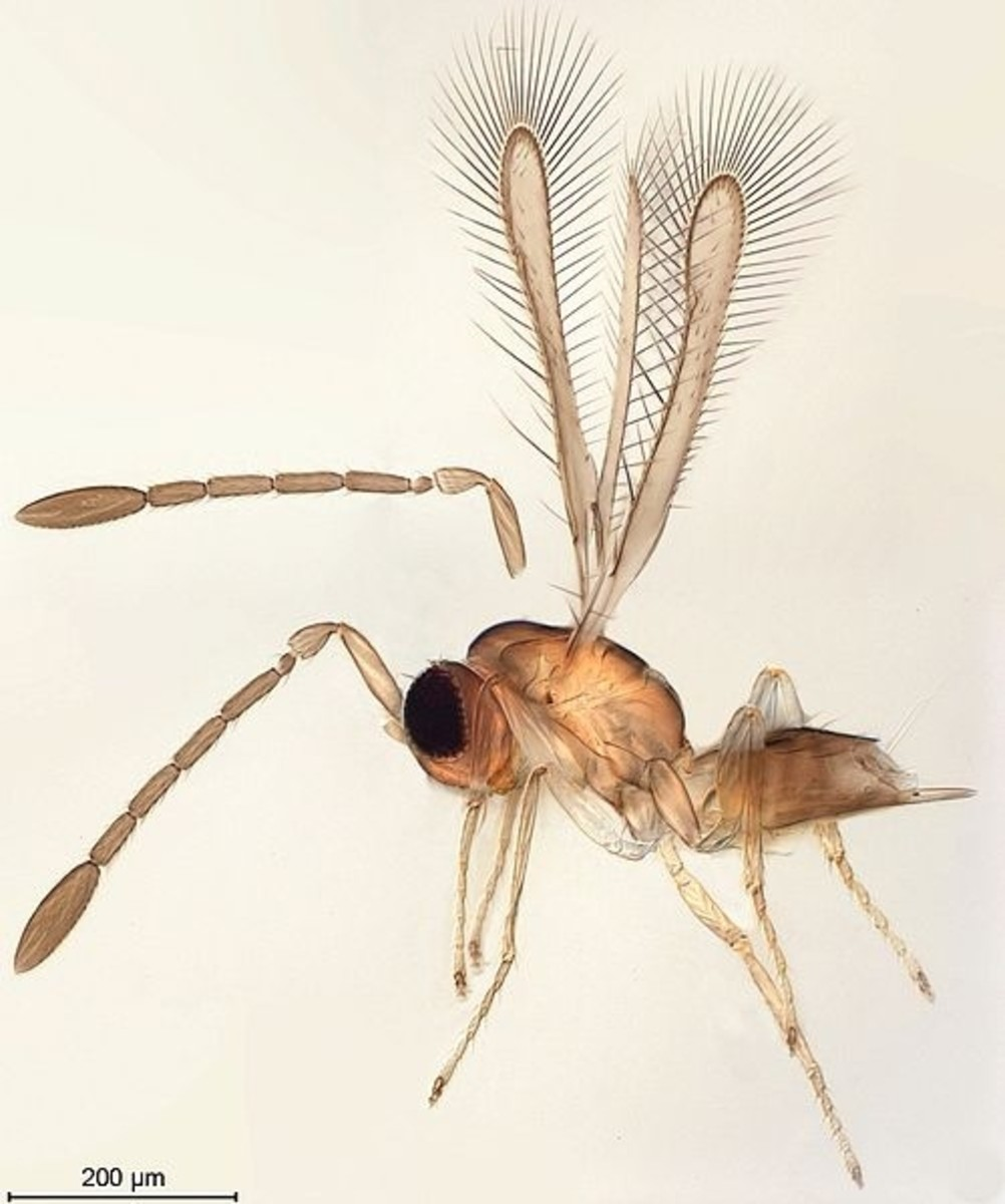 Image 2. A one-millimeter-long Mymar dimidiatus wasp (fairyfly). Still five times larger than megaphragma mymaripenne.