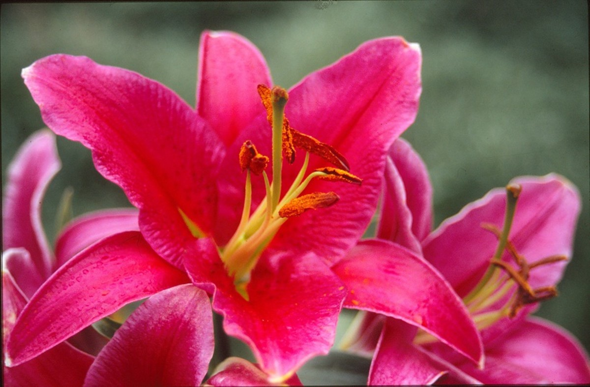 Lilies - oriental hybrid