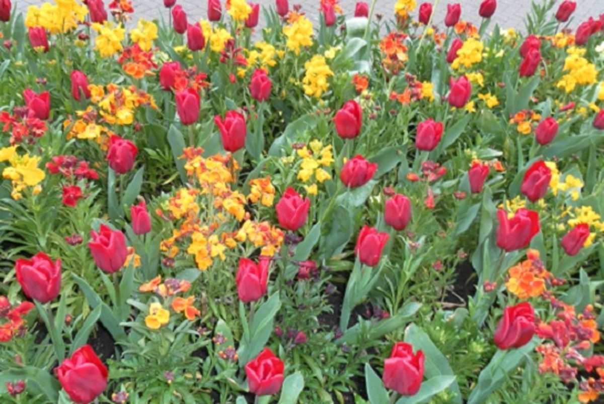 Tulips and wallflowers - bedding display