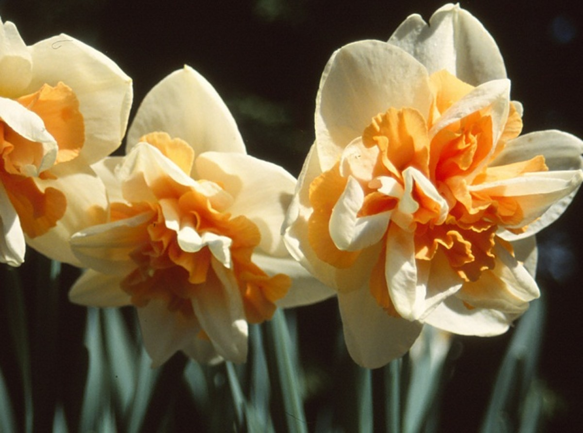 Double daffodil - n. delnashaugh