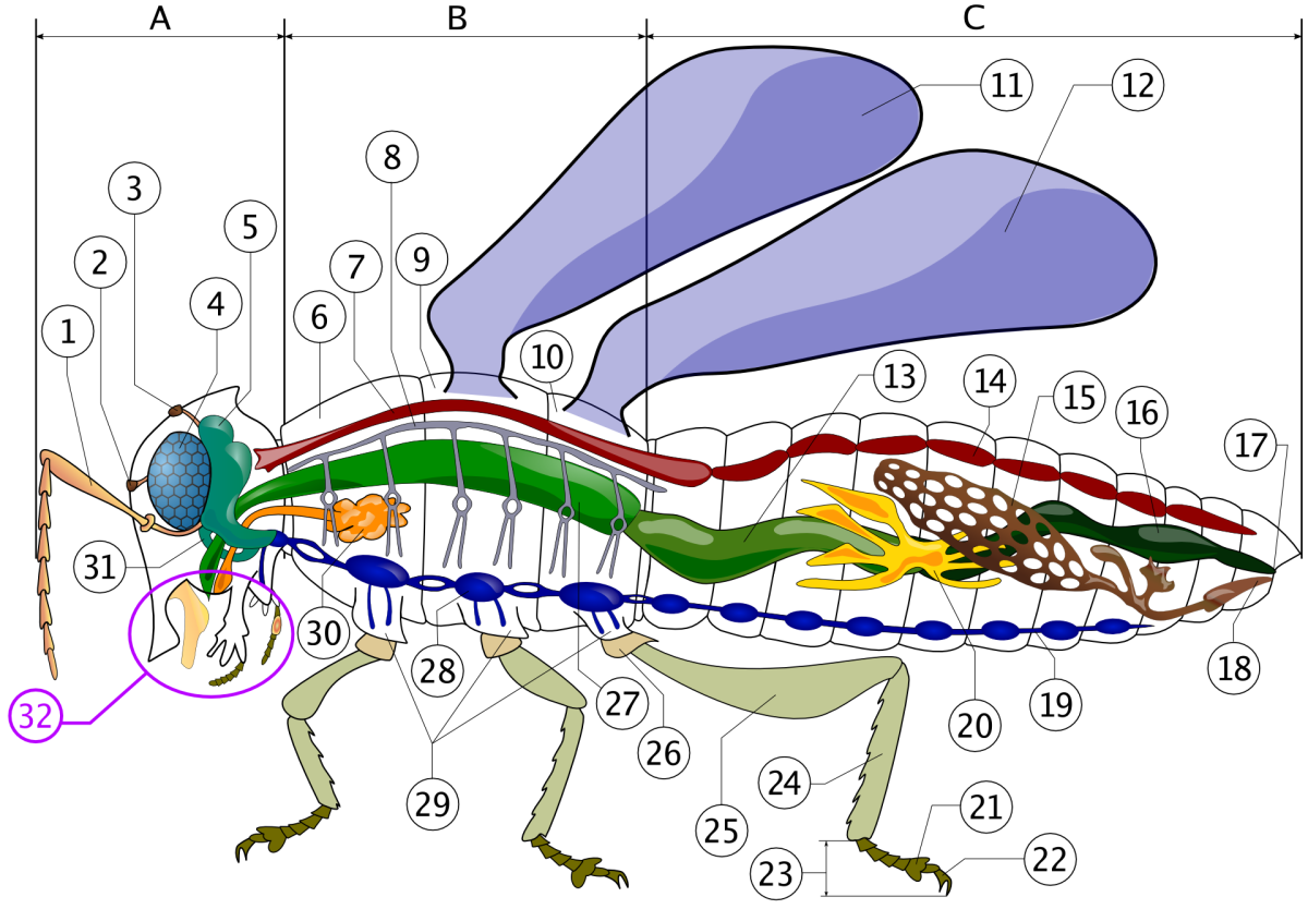 Insect anatomy diagram.  Number 9 is the mesothorax where the wings attach.