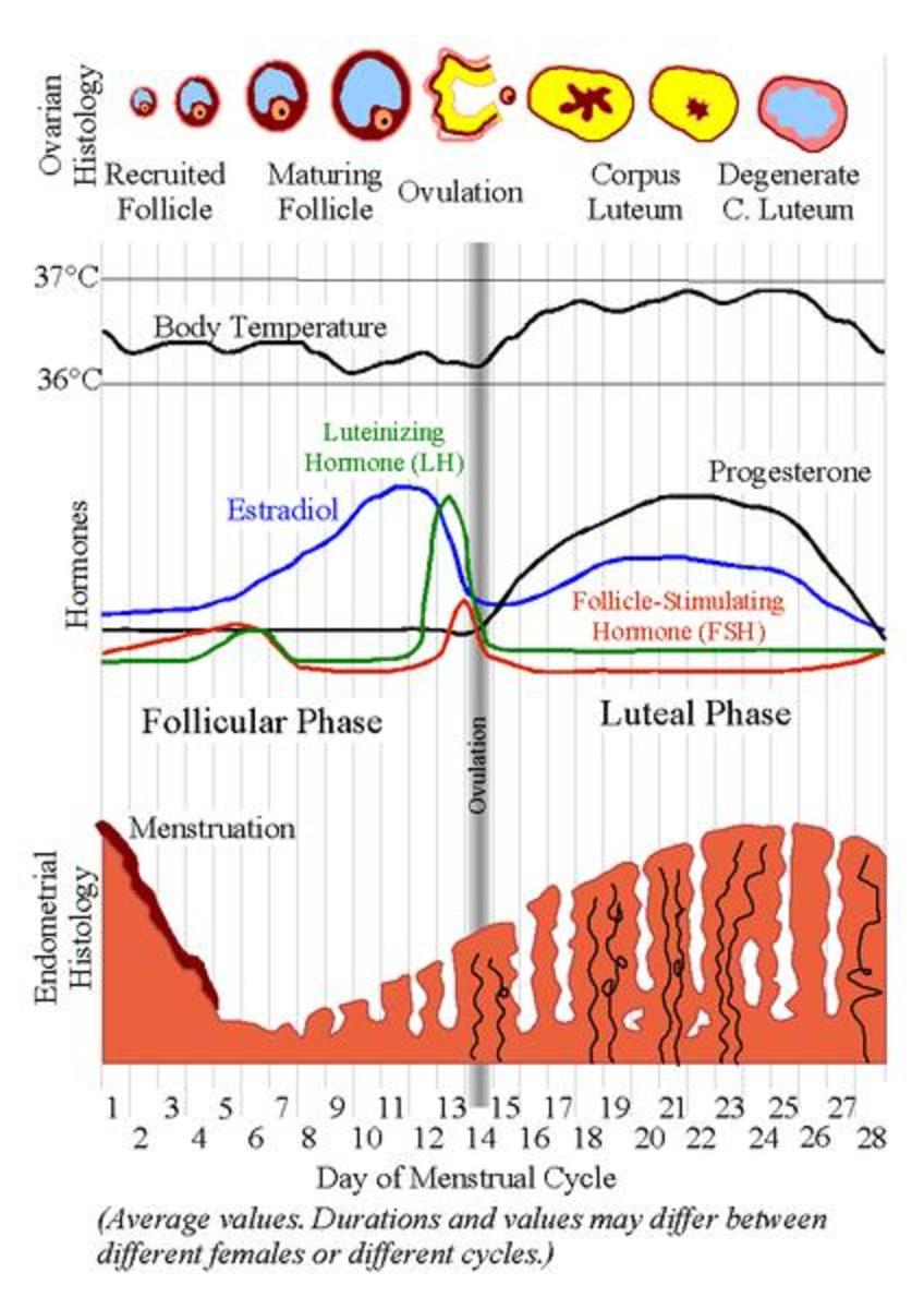 This chart shows the progression of the follicle/corpus luteum, body temperature, hormone levels, and the building of the uterine lining during an average female cycle. Ovulation is marked by the grey vertical line.