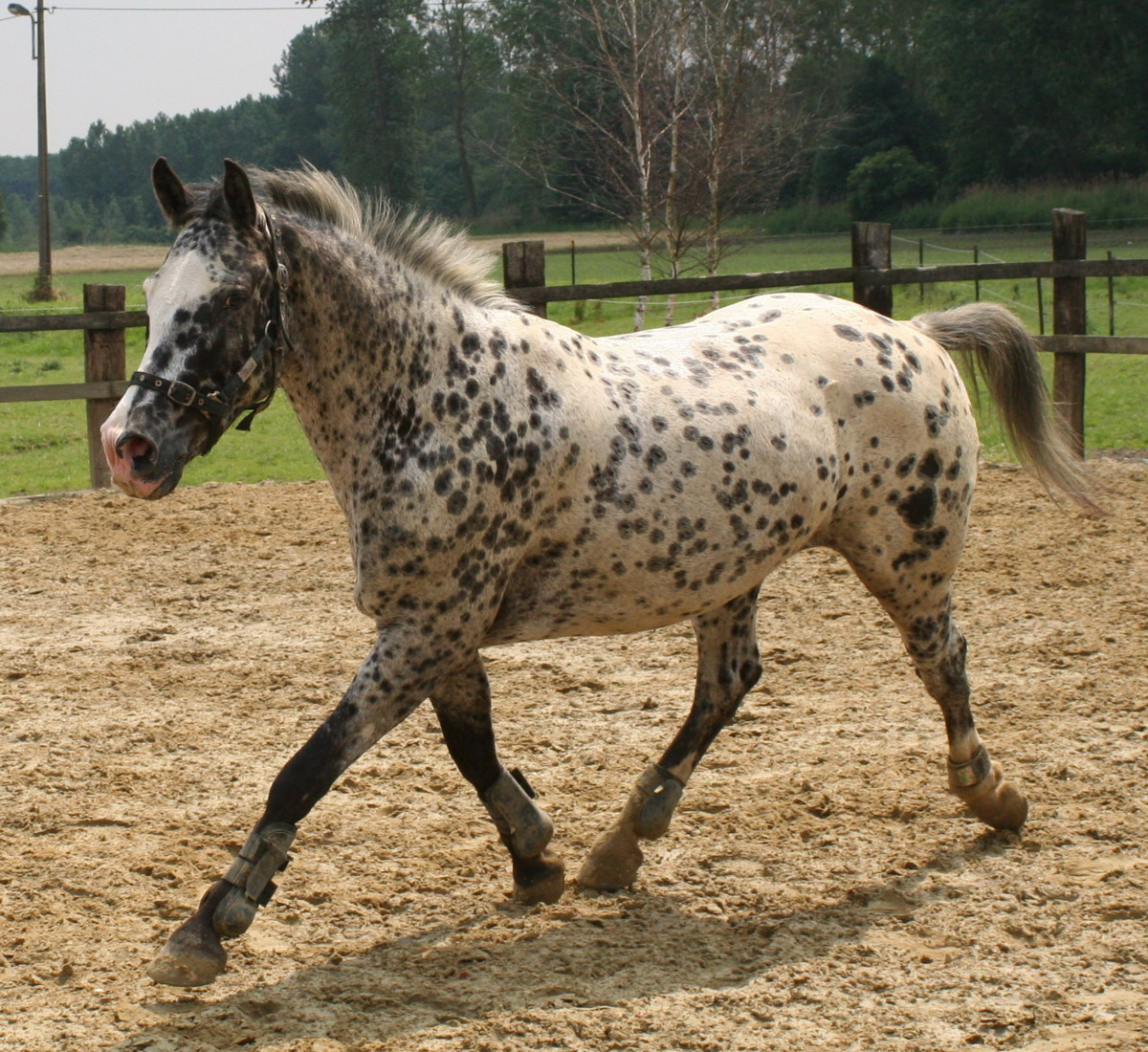 The Appaloosa Coat Patterns History And Breeding With