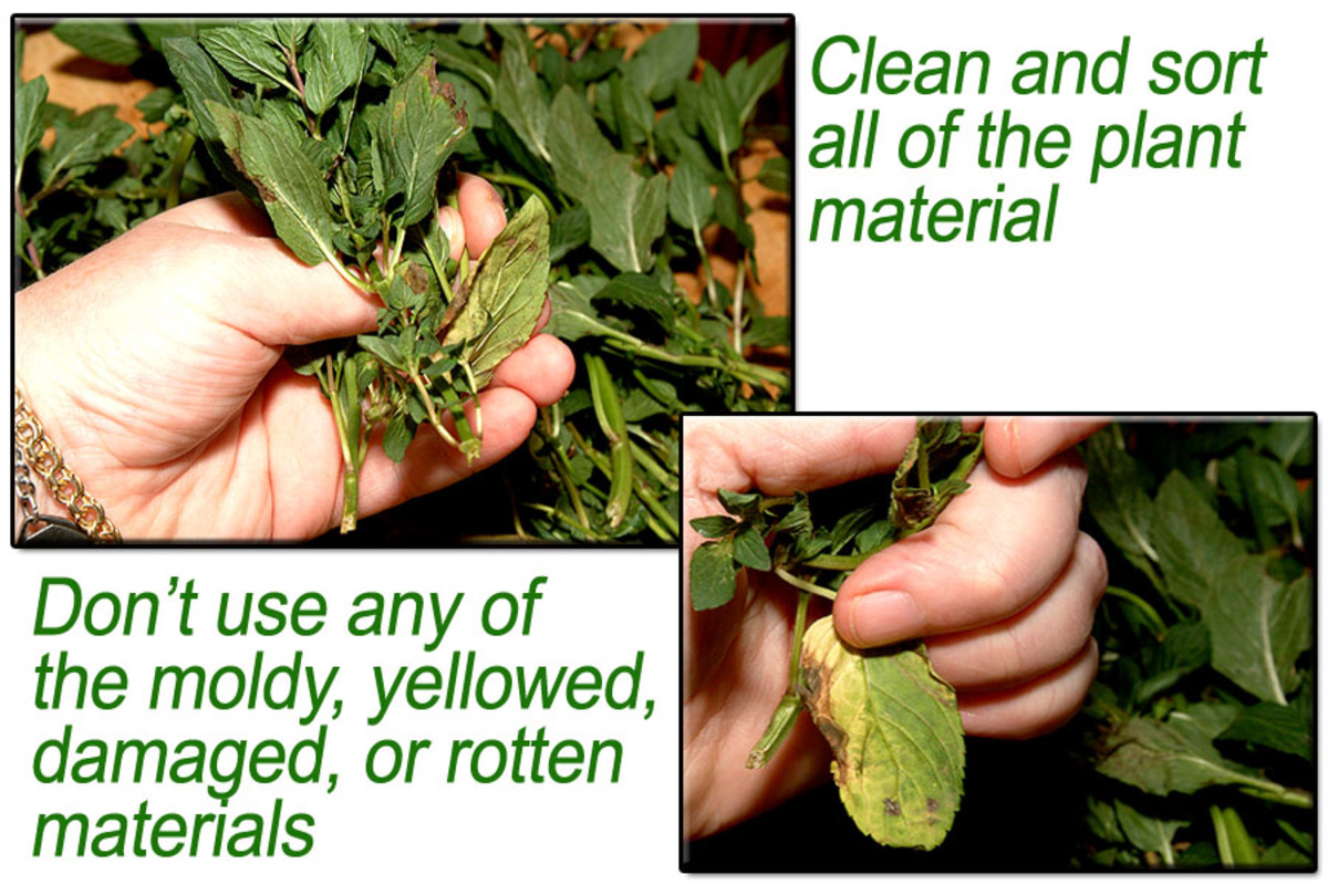 Clean and sort peppermint plant material.