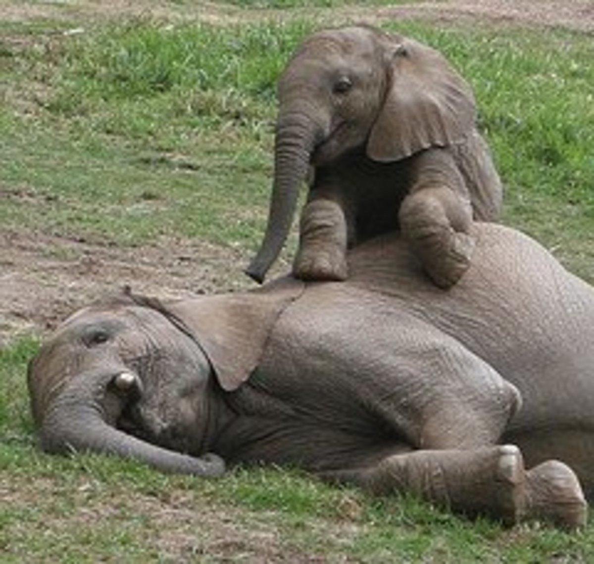 Baby elephant orphaned by large scale culling operation.