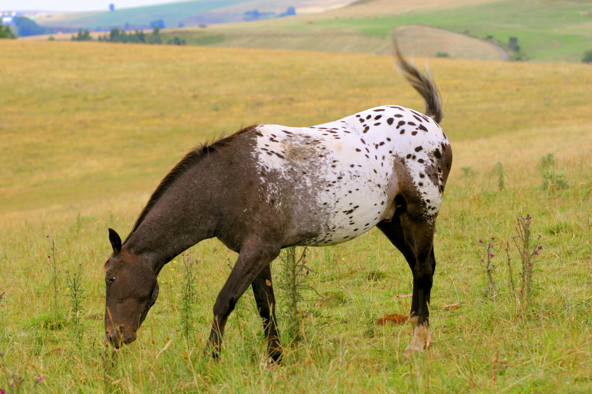 The Appaloosa: Coat Patterns, History, and Breeding, with Photos