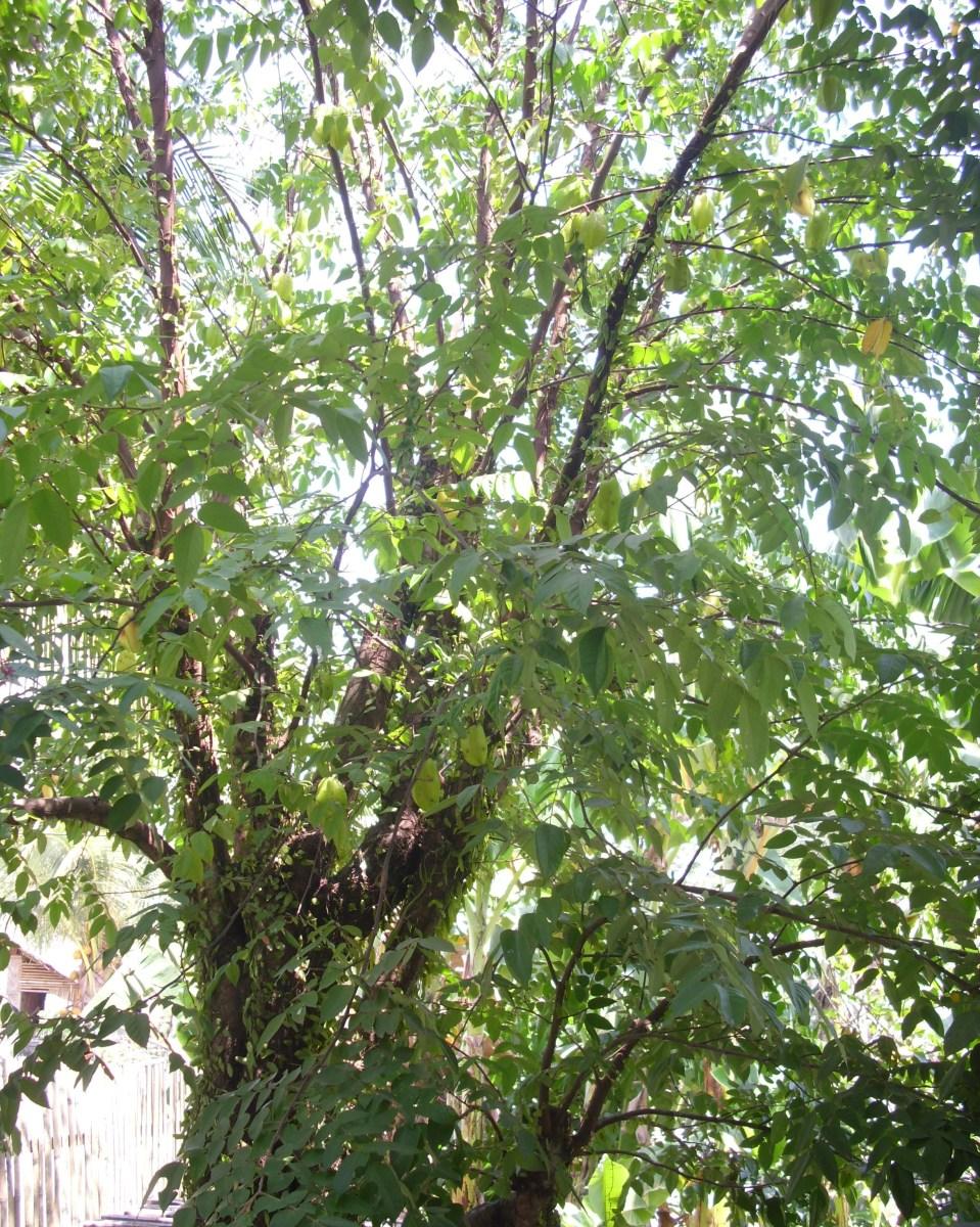 Star Fruit  / Carambola Tree