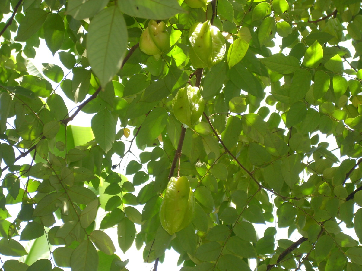 Star Fruits hanging on the branches.