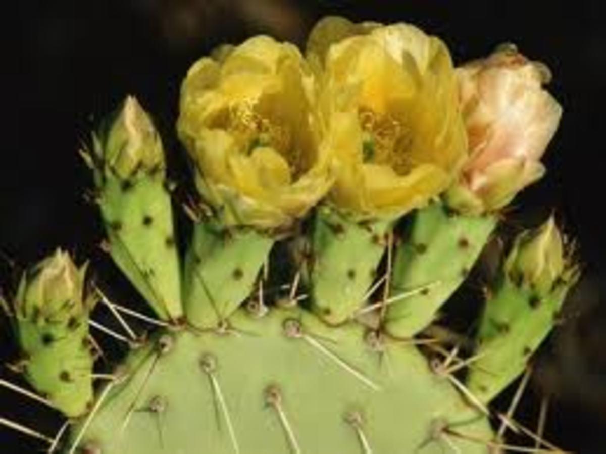 cactus-flower-a-poem