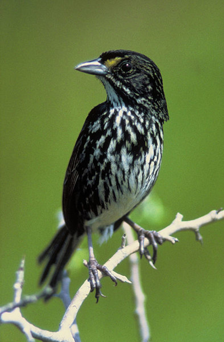 The Dusky Seasside Sparrow fell victim to DDT poisoning and habitat loss which claimed it for extinction in 1987.