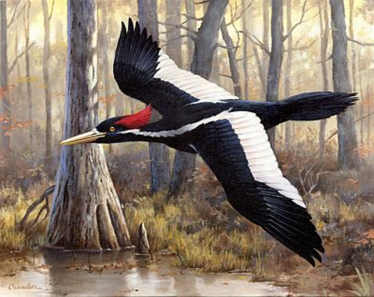 America's largest woodpecker, the Ivory-Billed Woodpecker, went extinct in 1944 due to logging and habitat loss but some claim it still exists...