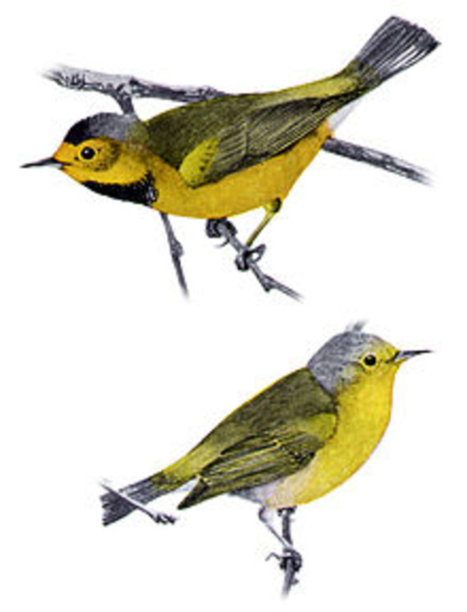 Habitat loss is what made America's smallest warbler, the Bachman's Warbler, go extinct. The last one of these birds left alive was sighted as recently as 1961. Could it still be out there?