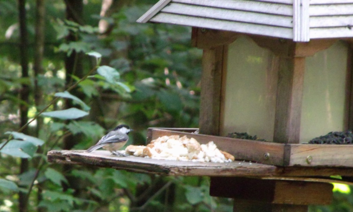 Chickadees are among the many birds that enjoy day old bread crumbs.  These provide energy because they contain carbohydrates and fat, which help increase birds' metabolism.