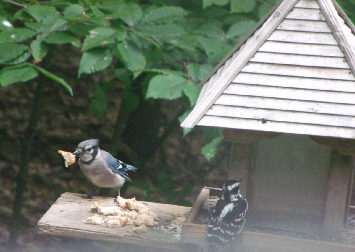 This Blue Jay has found a piece of bread.  He'll fly up in to a tree to eat it, then return for more.  That's a Hairy Woodpecker waiting her turn.