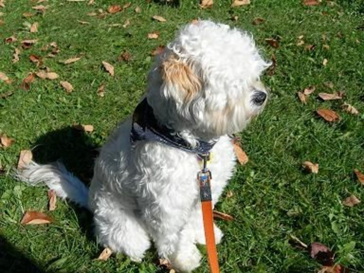 schnoodles-whoodles-and-jack-a-poos