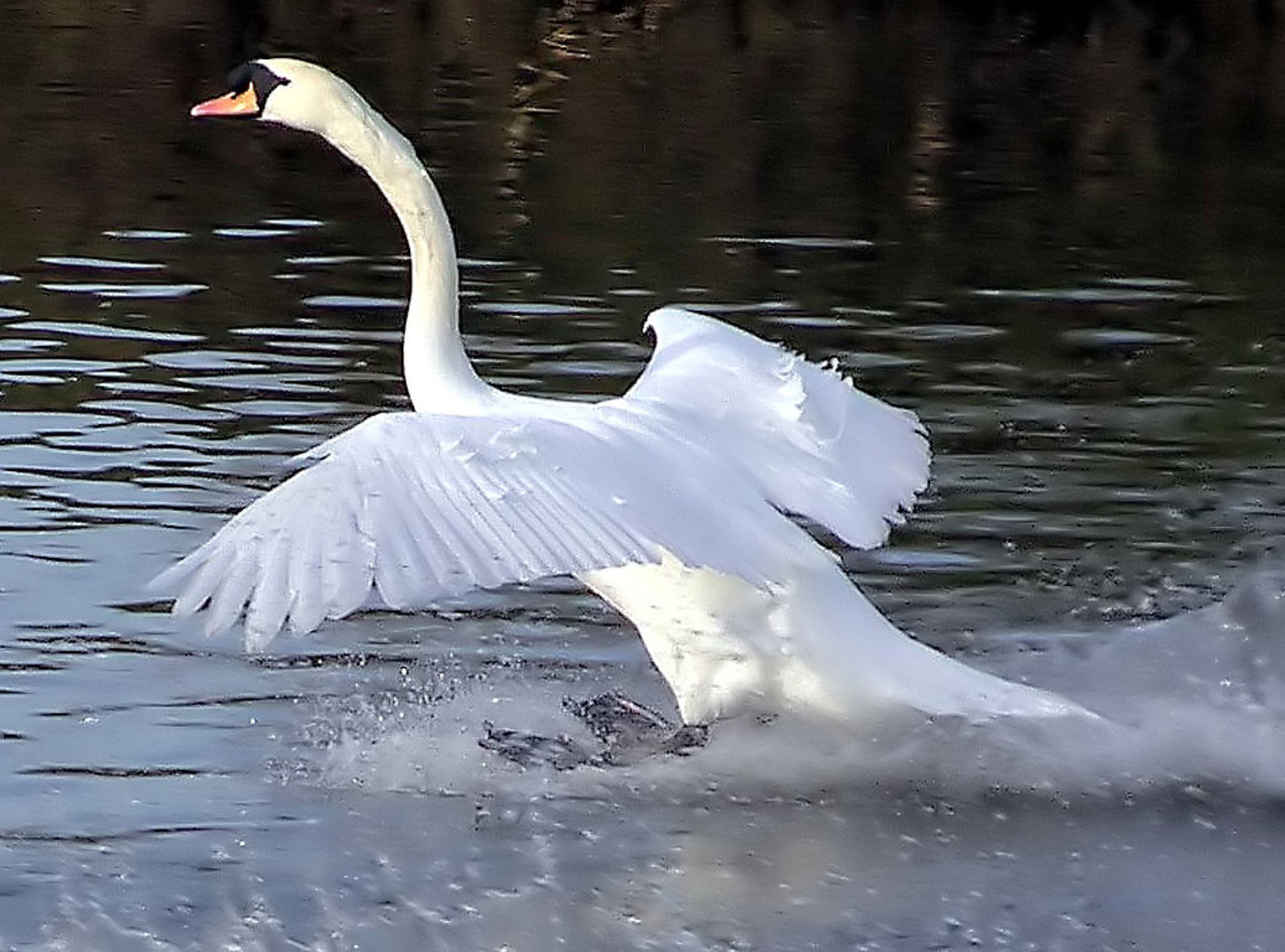 A swan touching down at Slimbridge Wildfowl and Wetlands Centre in England.