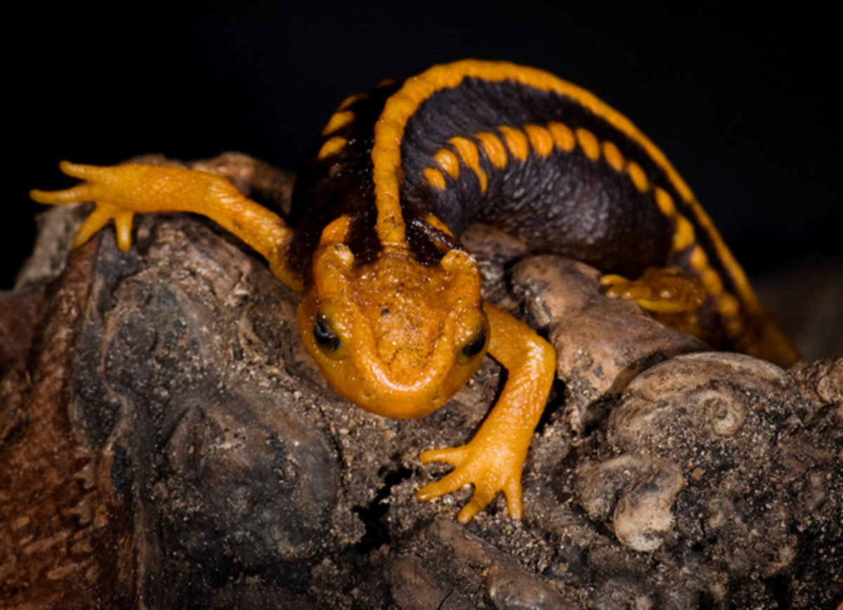 For some reason, Emperor newts are not as popular a pet in the United States as they are in Europe.